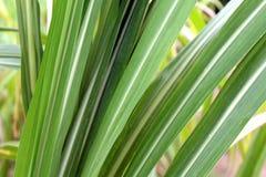 Het suikerriet verlaat vers groen close-up, suikerrietlandbouw stock afbeeldingen