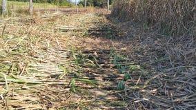 Het suikerriet wordt gesneden samen om voor het planten voorbereidingen te treffen Stock Foto