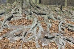 Het systeem van wortels van een beuk Stock Foto's