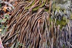 Het systeemclose-up van mangrovewortels Stock Fotografie