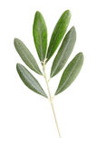 Het takje en de bladeren van de olijf Royalty-vrije Stock Afbeeldingen