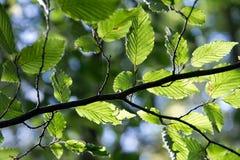 Het takje van de berk met groene bladeren Royalty-vrije Stock Fotografie
