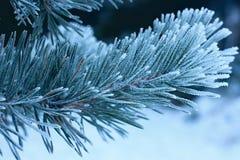 Het takje van de bevriezingspijnboom Stock Fotografie