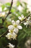 Het takje van de lente Royalty-vrije Stock Foto's