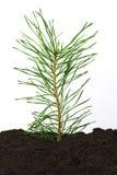 Het takje van de pijnboom in grond Royalty-vrije Stock Foto's