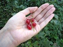 Het takje van de rode aalbes op de palm van de vrouw Stock Fotografie