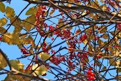 Het takkenhoogtepunt van rode rijp absorbeert het groeien op boom Royalty-vrije Stock Foto's