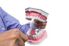 Het tandmodel wordt gebruikt onderwijzen hoe te om de netheid van de tanden te controleren door de arts Geïsoleerdj op witte acht stock foto