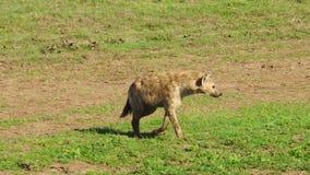 Het Tanzaniaanse Bevlekte Hyena bewegen zich stock video