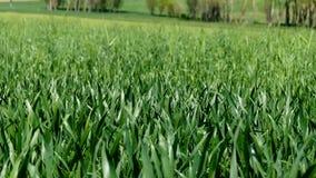 Het tarwegebied in de lente, tarweinstallatie is begonnen te groeien, landklimaat en tarwecultuur, stock footage