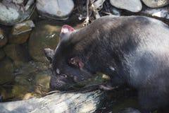 Het Tasmaanse duivel drinken, Tasmanige Stock Foto