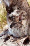 Het Tasmaanse Wild Royalty-vrije Stock Afbeeldingen
