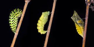 Het te voorschijn komen en metamorfose van de boter van Swallowtail Papilio machaon royalty-vrije stock afbeeldingen