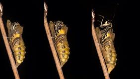 Het te voorschijn komen en metamorfose van de boter van Swallowtail Papilio machaon stock foto