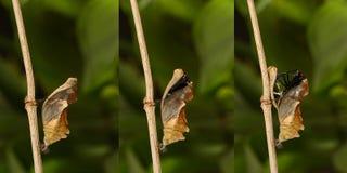Het te voorschijn komen en metamorfose van het tropische Gouden birdwing butterf stock foto's