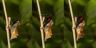 Het te voorschijn komen en metamorfose van het tropische Gouden birdwing butterf royalty-vrije stock fotografie