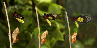 Het te voorschijn komen en metamorfose van het tropische Gouden birdwing butterf Royalty-vrije Stock Foto