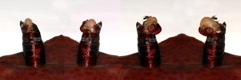 Het te voorschijn komen en metamorfose van huisvlieg, Musca-domestica stock afbeeldingen