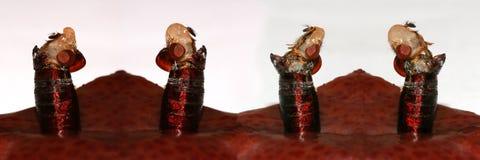 Het te voorschijn komen en metamorfose van huisvlieg, Musca-domestica stock foto's