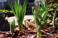 Het te voorschijn komen gele narcissen en tulpen in de vroege lente Stock Foto