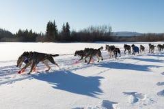 Het team die van de sleehond in Yukon-Zoektocht rennen stock foto