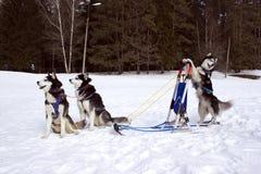 Het team huskies Stock Foto's