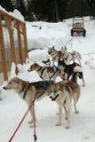 Het Team van de hondar stock afbeelding