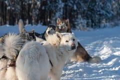 Het team van de sleehond ontspant in de sneeuw stock fotografie