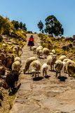 Het Techileeiland, oude vrouw leidt een troep van schapen, Peru stock foto