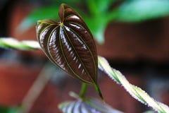 Het tedere blad van de textuur donkere bruine kleur Royalty-vrije Stock Afbeelding