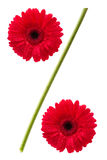 Het teken van percenten van de bloemen van het gerberamadeliefje Stock Fotografie
