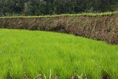 Het terras van de rijst. stock afbeelding