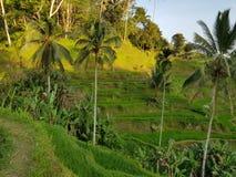 Het terras van de rijst Gefotografeerd op Bali stock foto's