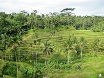 Het terras van de rijst Gefotografeerd op Bali Royalty-vrije Stock Afbeelding