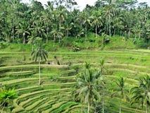 Het terras van de rijst Gefotografeerd op Bali Stock Foto