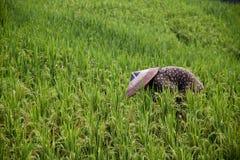 Het terras van de rijst van Guanxi Stock Foto's