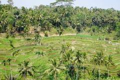 Het terras van de Tegalalangrijst Stock Foto