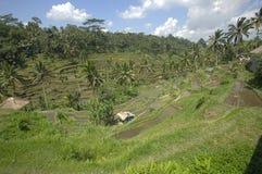 Het terras van het Tegalalangpadieveld Stock Afbeelding