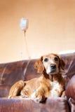 Het terugkrijgen van hond op bed dat infusie neemt Stock Afbeeldingen
