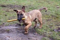 Het terugwinnen van de hond Stock Afbeelding