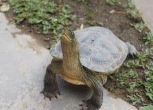 Het tevreden schildpadleven is goed op grond Royalty-vrije Stock Afbeeldingen