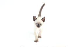 Het Thaise katje is een traditionele of ouderwetse siamese kitte stock foto