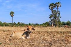Het Thaise koe ontspannen op het gebied met blauwe hemel Royalty-vrije Stock Fotografie