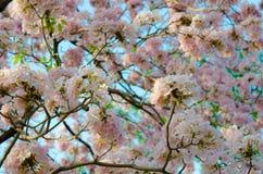 Het Thaise Tot bloei komen Sakura Royalty-vrije Stock Foto