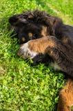 Het Tibetaanse Mastiffpuppy Royalty-vrije Stock Fotografie