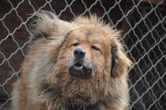 Starende hond Royalty-vrije Stock Foto's