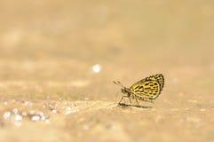 Het Tiger Hopper-vlinder het voeden voedsel ter plaatse in aard, Thailand Stock Afbeeldingen