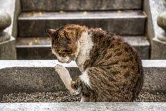 Het Tigerish kat krassen Stock Foto's