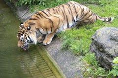 Het tijger drinkwater in Dierentuin de tijger van Keulen, Duitsland Agil drinkt water stock afbeelding