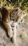 Het tijgerleven royalty-vrije stock foto